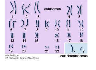 Human chromosomes - Y-STR tests areas of the Y chromosome